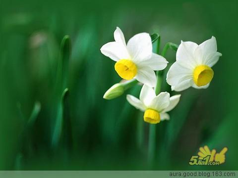 春节韵友水仙花 - 玫瑰小手 - 陶然亭