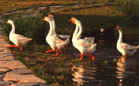 新年 新突破 新鸭病治疗有新招 - 禽病专家 - 中国(驰骋)动物保健品贸易行