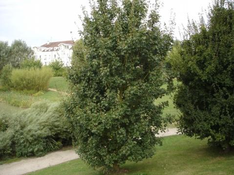 欧洲的金子塔枫树 - pfspfs666.popo - 反三的博客