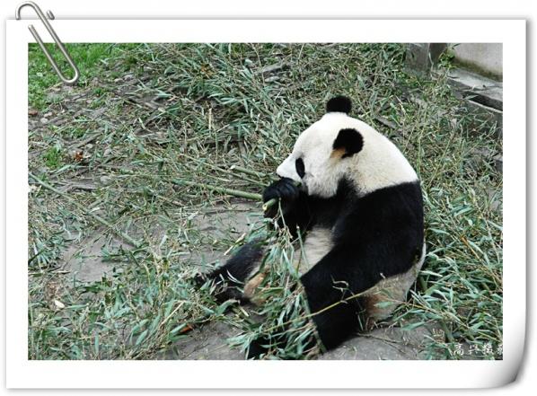 中国国宝-雅安大熊猫(转)