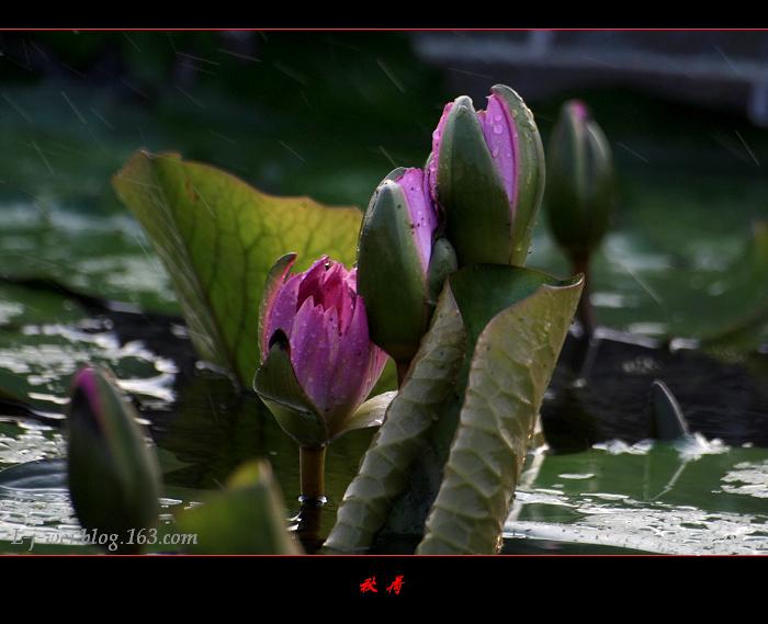 秋荷(原创摄影) - 冰滴卡布 - l-j-wei的个人主页