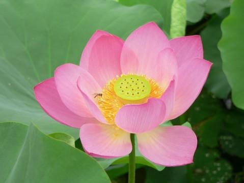 [原编]小蜜蜂、荷花 - 沙力 - green