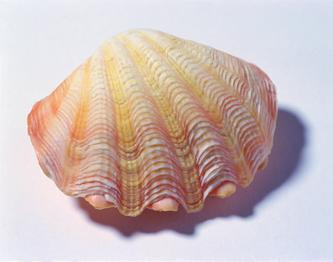 2008年2月22日 平凡的贝壳;