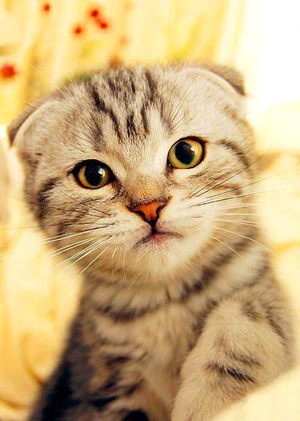 最爱猫猫 苏格兰折耳猫