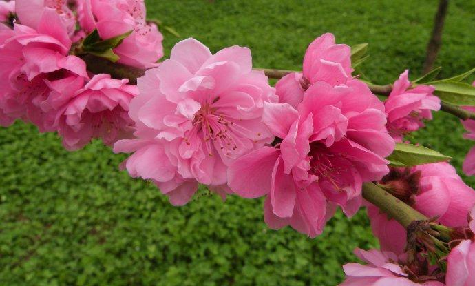 22088    看见桃花 - 一云吉亚 - 一云吉亚的博客