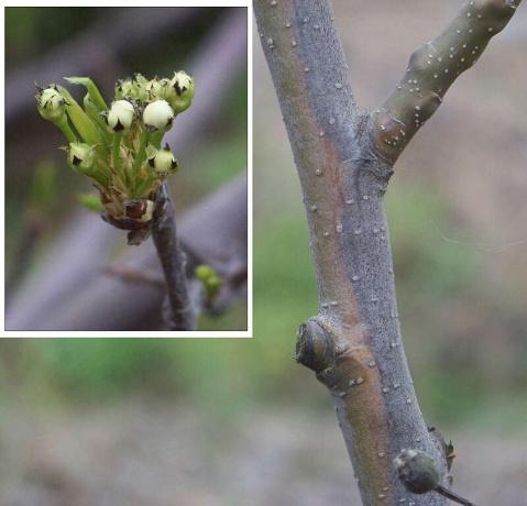 大棚梨试验树树体状况调查 - 清扬 - 花果飘香
