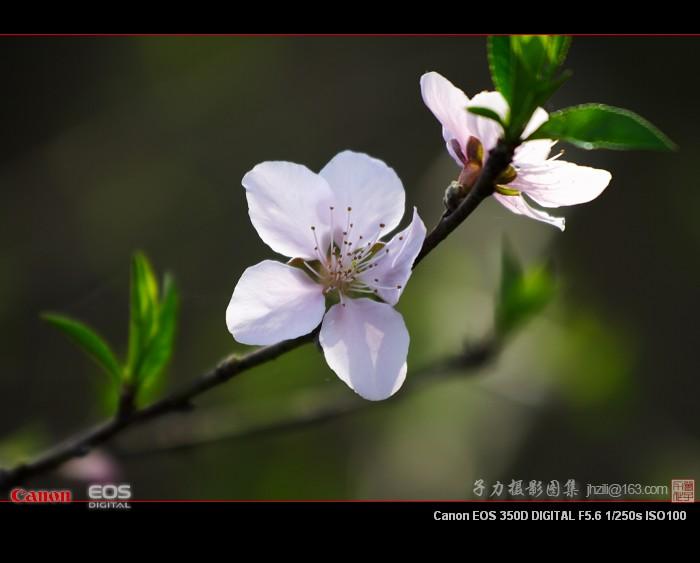 [原创] 桃李花开(1) - 子力 - 子力摄影图集