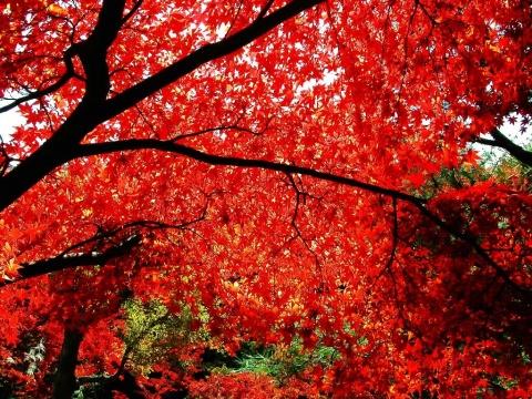 枫叶 - 阳光脚步 - 阳光下的精彩