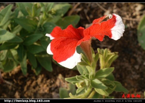 【摄影】残花儿也争妍 - 大漠孤烟 - 大漠孤烟的博客