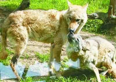 幸存的逃狼当爸爸了这一家子的幸福生活叫人眼热(组图)