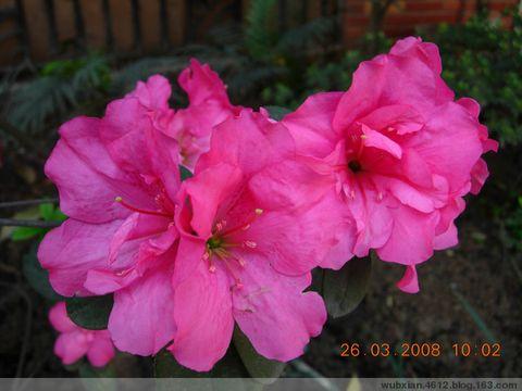 春花(2):杜鹃[原创摄影] - shui mo hua - shuimohua欢迎你,来访的朋友!