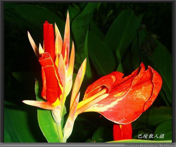 [原]花卉摄影:绛唇翠袖舞东风《美人蕉》21p - 巴陵散人 - 巴陵散人影室