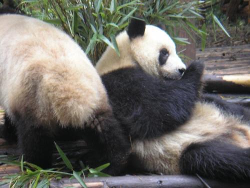 近距离接触国宝大熊猫 - 袁亮语录 - 袁亮语录
