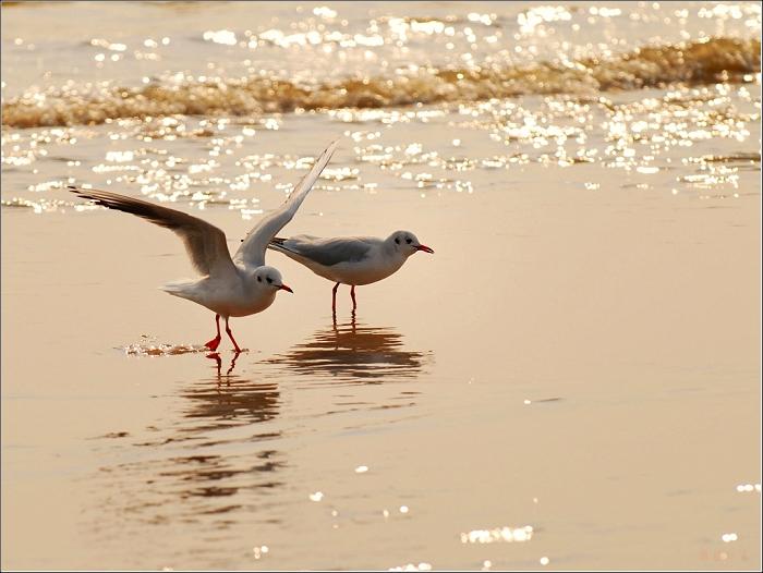 [原创]鸟影08海鸥——沙滩海浪间 - 迁徙的鸟 - 迁徙鸟儿的湿地
