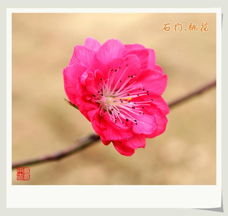 石门之油菜花与桃花 - 沥沥雨 - 沥沥雨的博客