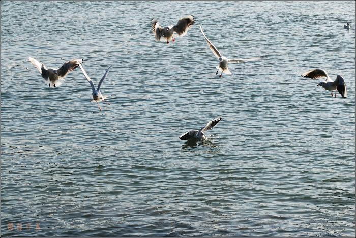 [原创]鸟影07海鸥——欢乐海面 - 迁徙的鸟 - 迁徙鸟儿的湿地