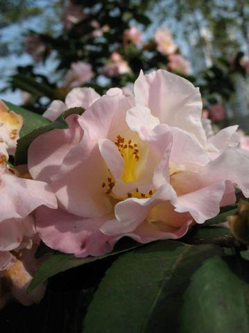 茶花会 - luodiyee - 面粉的异变空间