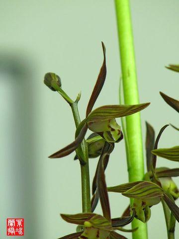 墨兰三绝 - 紫冰兰 - 莲心苑。紫冰兰
