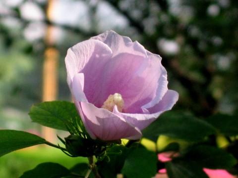 【转载】原创木槿新颜(兰州园丁摄) - 兰州园丁ljm44713 - 我的博客 《原创照片,欢迎指导》