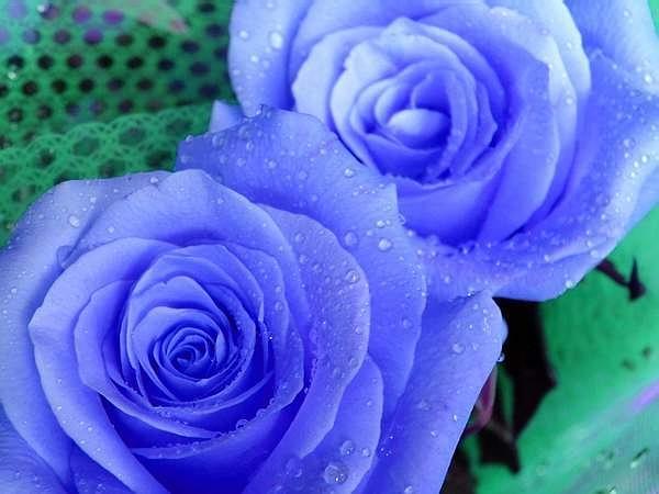 引用 玫瑰花园 - 谢菁 - 天使花园