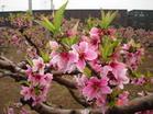 月色桃花 - 一叶知秋 - mahuban的博客