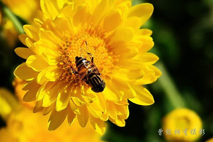 (原创摄影)原来是斑眼食蚜蝇 - 曾经拥有 - 我的摄影花园