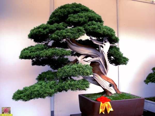 【引用】松柏类盆景【原创】 - 知足常乐 - rugong818的博客