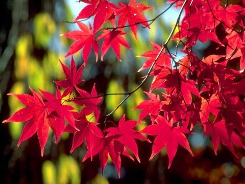 引用 【原创】】枫·和枫叶兼赠红叶君 - 枫叶 - 枫叶的博客