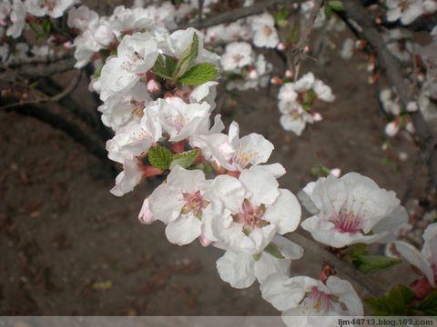 《 原 创 》 兰 州 郁 李(花) (兰州园丁摄) - 兰州园丁ljm44713 - 我的博客原创照片,欢迎指导