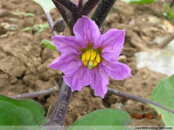 蔬菜的花儿也美丽(一) - 农夫老黑 - 农夫老黑