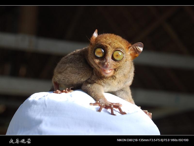 菲律宾眼镜猴 - 西樱 - 走马观景