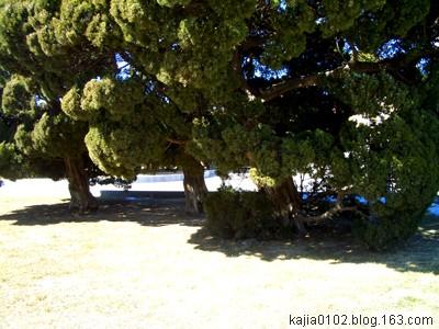 [原创]旅顺的古老苍树 - Kajia - 脚印一点点