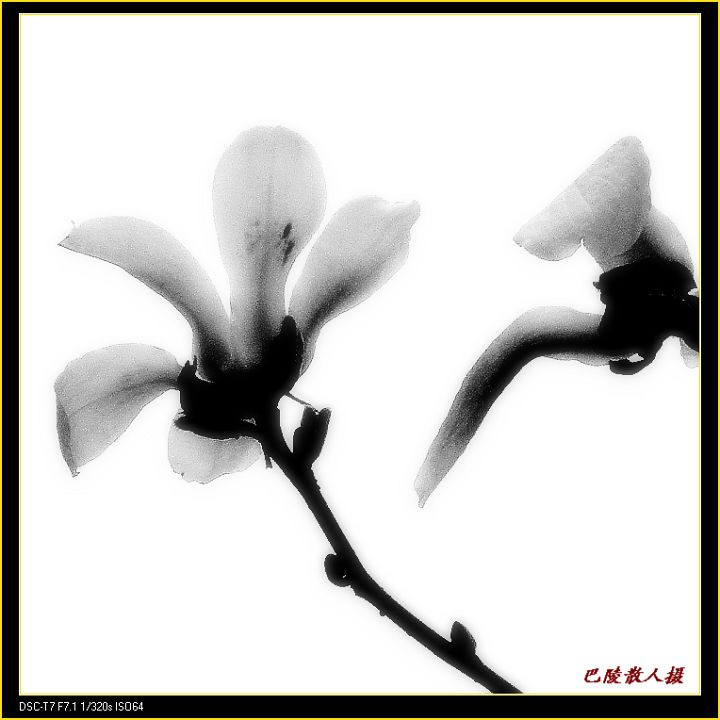 [原]花卉摄影:《白玉兰》 - 巴陵散人 - 巴陵散人影室