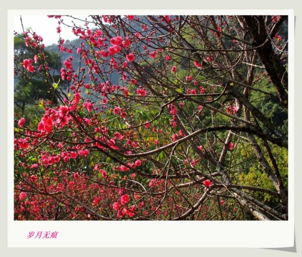 正月十五看桃花---艳!(4)【原创摄影】 - 岁月无痕 - 岁月无痕