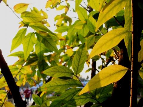 叶子 - 木头人 - sampson827的博客