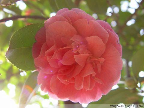 山茶花--我的摄影 - angel.yzx - 惠风和畅