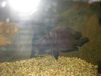 最新引进的野生珍珠虎!!! - x-999 - 牧 鱼 水 族