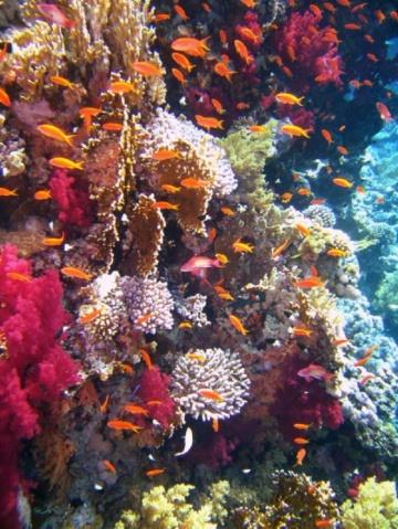 【图】美丽的珊瑚礁  - 醉龙归舟 -