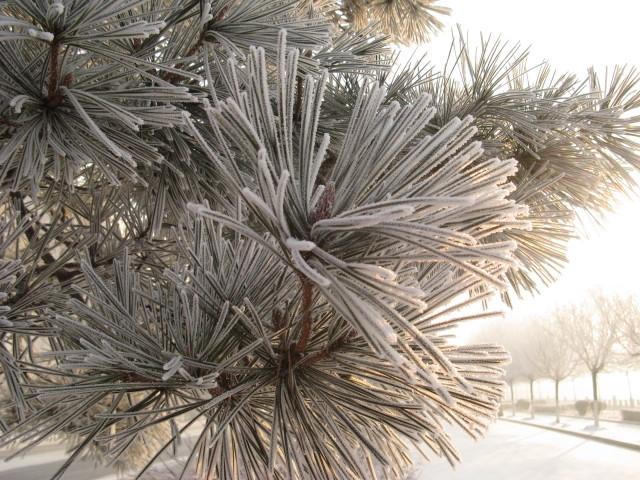 大雪*树挂 - 碧荷叶 - 碧荷叶的博客