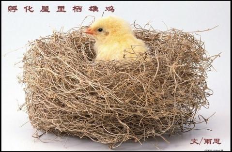 原创孵化屋里栖雄鸡 - 作家雨思 - 作家雨思的博客