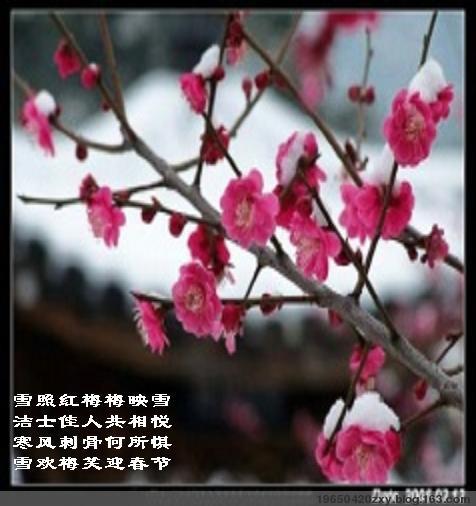 红梅映雪(文原创) - 19650420zxy - 享受阳光