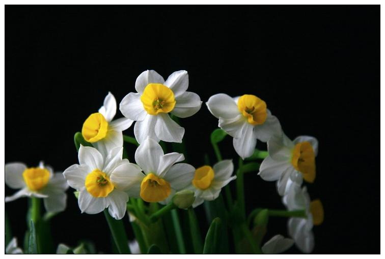 【原创摄影】  水仙花 - 曾经拥有 - 我的摄影花园