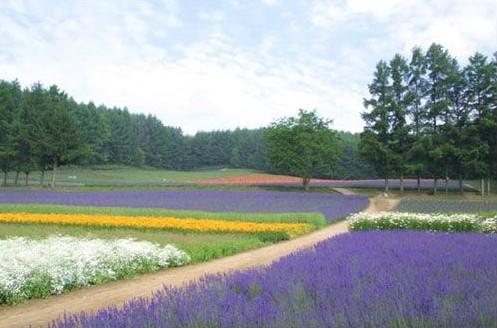 普罗旺斯的薰衣草