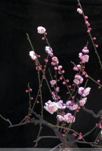 赏梅2 - chuncang - chuncan的博客欢迎你!
