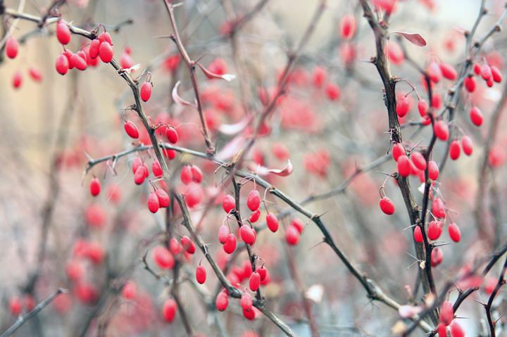 (原创摄影)小叶红的果实 - 刘炜大老虎 - liuwei77997的博客