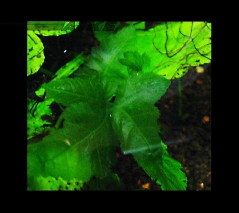 """转了水的三叶蕨,透明.有的也没""""三叶""""的感觉了"""