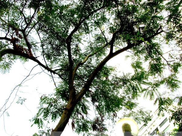 铁刀木〔原创〕 - 狮子山上雾茫茫 - 狮子山上雾茫茫攝影集 的博客