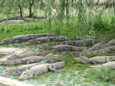 原创扬子鳄 (俊山摄) - 兰州园丁ljm44713 - 我的博客原创照片,欢迎指导