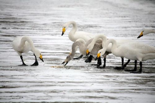杨志礼的摄影作品——天鹅专题 - 雨兰 - 雨兰的博客