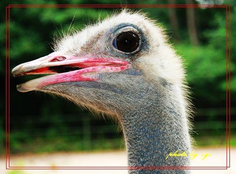 [原创]动物王国(04)鸵鸟《丑奴儿》 - 自由诗 - 人文历史自然 诗词曲赋杂谈